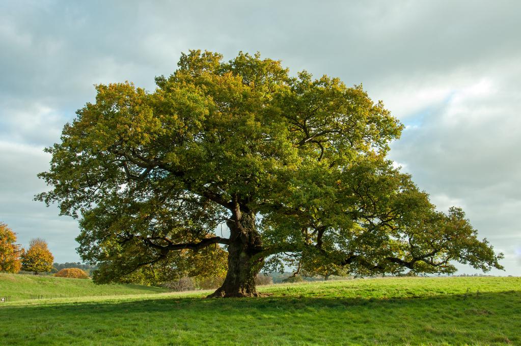 Chene pedoncule arbre full 13102369