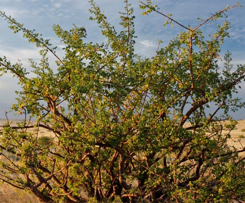 Myrrhe plante